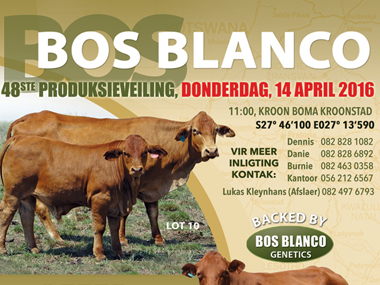 Bos Blanco Production Sale
